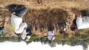 santa cruz native plants amah mutsun native stewardship corps august 2016 in pictures
