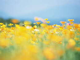 Flower Field Wallpaper - 75 best nature flowers field meadow wildflowers images on
