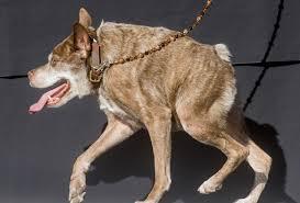 Ugliest Huge Homely Mastiff Named Martha Wins World U0027s Ugliest Dog