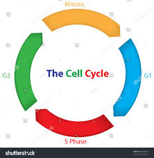 biologix cell cycle mitosis and cytoplasmic division worksheet