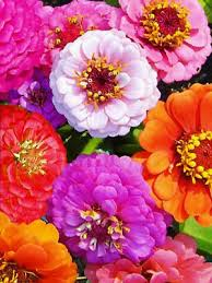 Zinnia Flower Zinnia Flower Seeds Lilliput Mix Heirloom Vegetable Seeds