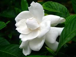live gardenia cape jasmine gandhraj plant amazon in garden