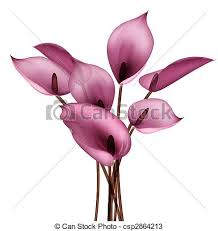 calla flower drawing of beautiful calla flower in a white background drawings