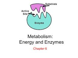 metabolism energy and enzymes chapter 6 lab thurs 9 17 next
