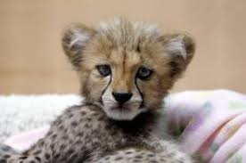 lions for sale tigers cubs lions cub for sale islamabad free classifieds in
