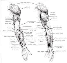 Google Human Anatomy Human Anatomy Diagram This Understanding Human Arm Anatomy Human