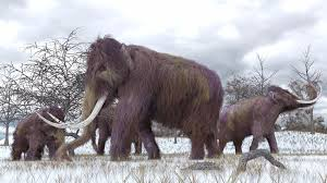 woolly mammoths aren u0027t coming extinction