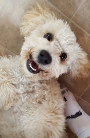 118 best love cockapoos images on pinterest cockapoo puppies