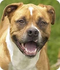 american pitbull terrier mix chicago il boxer american pit bull terrier mix meet champ a