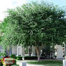 fast growing trees moon valley nurseries