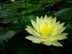 Blue Lotus Flower Meaning - the blue lotus flower is a beautiful flower there are different