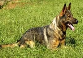 superior shepherd german shepherd dog breeder monroe north