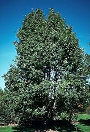 chanticleer pear tree on the tree guide at arborday org