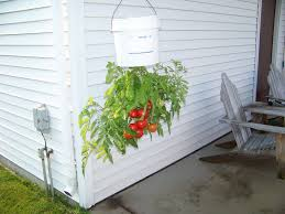 Upside Down Tomato Planter by Hanging Tomato Plants By Ritade Gardentenders Com Gardening
