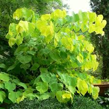 cercis canadensis hearts of gold buy eastern redbud tree