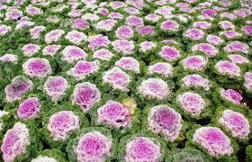 brassica oleracea ornamental cabbage biennial summer flower plant