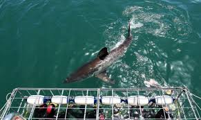 first great white shark nursery discovered by ocearch team off