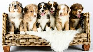 australian shepherd growth chart australian shepherd puppies growing time lapse youtube