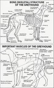 Dog Anatomy Front Leg Greyhound Anatomy Chart Oasis Amor Fashion