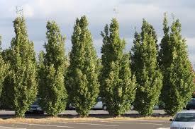 quercus robur crimschmidt oak crimson spire supertrees inc