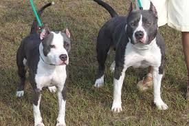 american pitbull terrier de 4 meses american staffordshire terrier breed information american