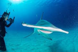 shark migration gives new hope for conservation