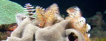 what are christmas tree worms