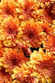Birth Flowers By Month - best 25 november birth flowers ideas on pinterest aster flower
