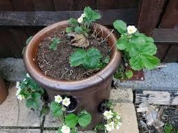 mirtillo in vaso coltivare frutti di bosco piccoli frutti come coltivare frutti