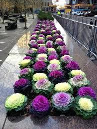 flowering kale plant flowering ornamental cabbage seeds plant