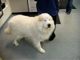 shaving a australian shepherd great pyrenees going in for a grooming make over before picture