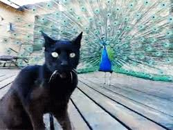 Peacock Meme - gif cat lol animals birds peacock my favorite gif is the one when