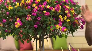 Patio Tree Roses by Cottage Farms Sun Kissed Rose Lantana Patio Tree With Nancy