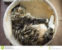 fluffy cat lie in round hammock stock photo image 55673699