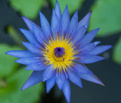 Lotus Flower Parts - lotus flower meaning and significance all over the world