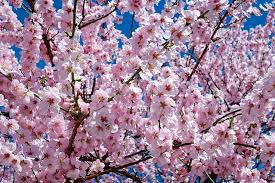 tree with pink flowers 1000 free premium pink flower stock photos