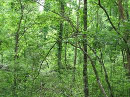 Louisiana forest images Bottomland hardwood forest louisiana texas flora and fauna jpg