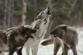 wolf information behavior shamans wiki fandom powered by wikia