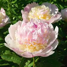 Very Fragrant Plants Fragrant Peony Collection White Flower Farm