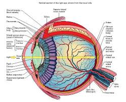Eye Humans Body Water Chemical Energy Animals Cells Cause