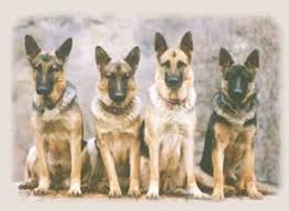 belgian sheepdog puppies for sale in california california german shepherd dog breeders german shepherd puppy sale