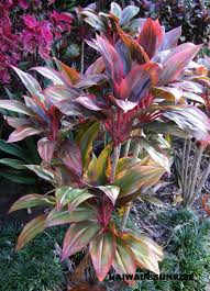 native hawaiian plant nursery buy cordyline fruticosa cvhawaiian flag from online plant nursery