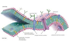 pictures plasma membrane diagram labeled human anatomy diagram