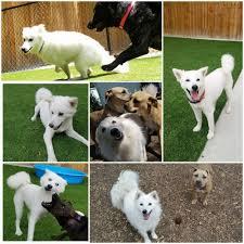 american eskimo dog energy level ntb dog blog u2014 nashville tail blazers