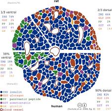 Anatomy And Physiology Of The Pancreas Pancreatic Islets Wikipedia