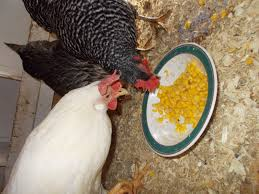 my chickens eating a once time canned corn backyard chickens