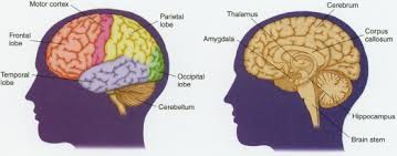 Part Of The Brain Stem That Is Involved In Arousal The Brain And Nervous System Body Causes Orchestrating