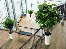 best indoor house plant preferential ficus pandurata bush also pot plants garden plants