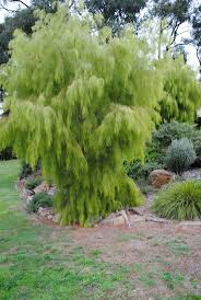 era nurseries buy trees online wholesale australian native 27 best small trees images on pinterest small trees garden and