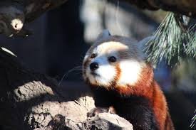 interesting facts about the red panda u2022 brandywine zoo u2022 go a
